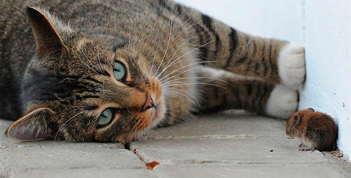 Кот - відмінний помічник для боротьби з мишами