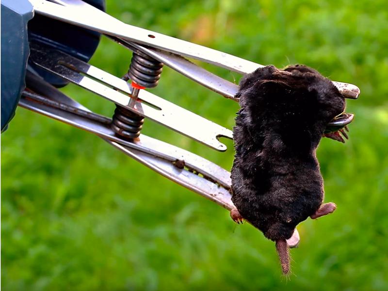 Крот, пойманный ловушкой Mole Trap