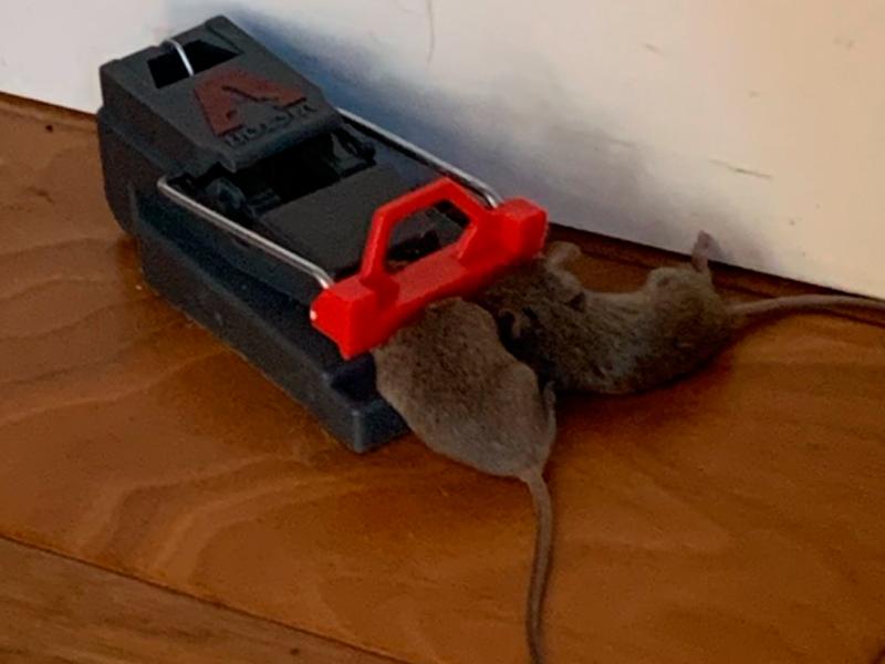 Результат действия ловушки Victor Quick-Kill Mouse Trap M140S на грызунов