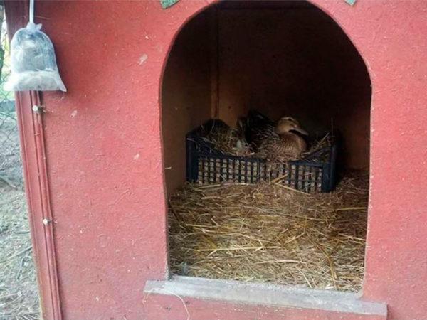 Защита свойских птиц с помощью отпугивателя куниц KUNAGONE